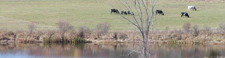 Our cattle grazing