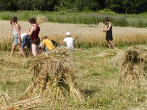 Wheat harvest 2008 - making sheaves